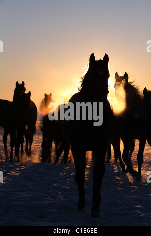 Silhouettes of horses in a paddock at sunrise, Goerlsdorf, Germany - Stock Photo