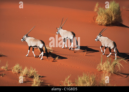 Gemsbok (Oryx gazella) In typical desert habitat Namibian desert sand dunes - Stock Photo