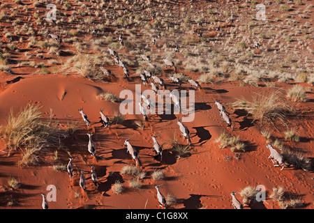 Gemsbok (Oryx gazella) In typical desert habitat Namibian desert - Stock Photo