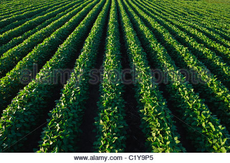 A green, mid-growth soybean field in summer in central Iowa. USA. - Stock Photo