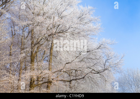 Hoar frost and mist in winter on beech trees on Scottsquar Hill in the Cotswolds at Edge, Gloucestershire, England, - Stock Photo