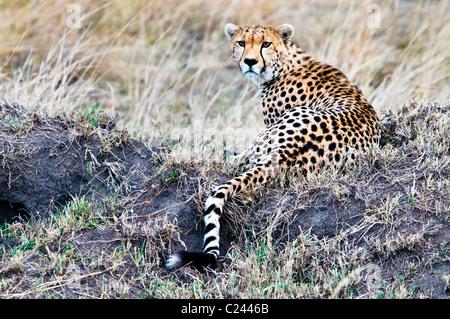 Cheetah, Acinonyx  jubatus, searching for prey, Masai Mara National Reserve, Kenya, Africa - Stockfoto