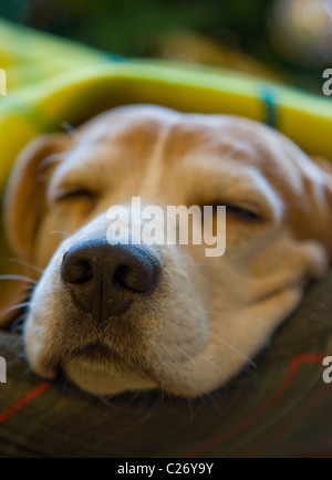 Sleeping Beagle Dog - Stock Photo
