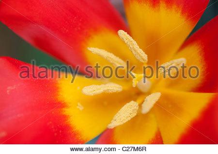 Tulipa VVedenskyi . Tulip flower middle - Stockfoto