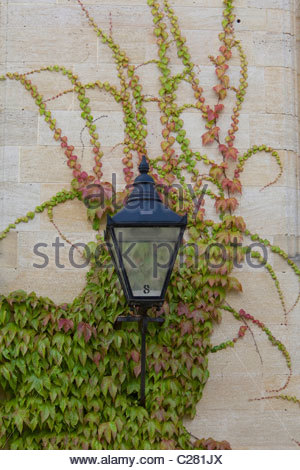 Street lamp on a wall with Boston ivy, Parthenocissus tricuspidata. - Stock Photo