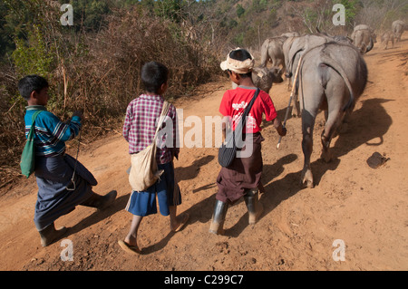 Children leading their buffalos to the field. Mindayik village. Southern Shan State. Myanmar - Stock Photo