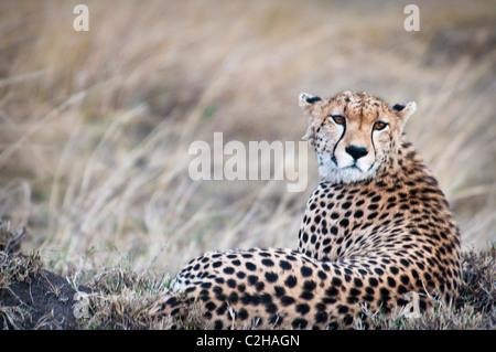 Cheetah, Acinonyx  jubatus, Seeking prey, Masai Mara National Reserve, Kenya, Africa - Stockfoto