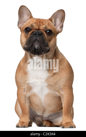 French bulldog, 9 months old, sitting in front of white background - Stock Photo