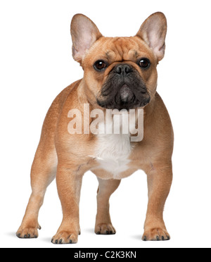 French bulldog, 9 months old, standing in front of white background - Stock Photo