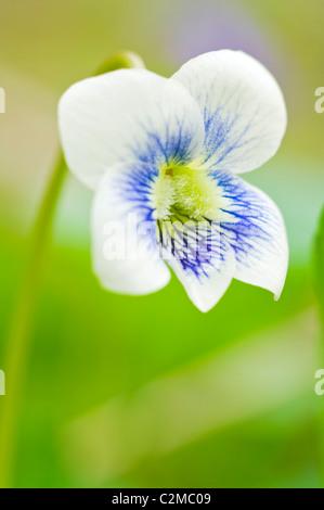 Wild Violet - Stock Photo