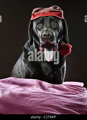 Shot of a Chocolate Labrador in Sleeping Cap, Yawning - Stock Photo