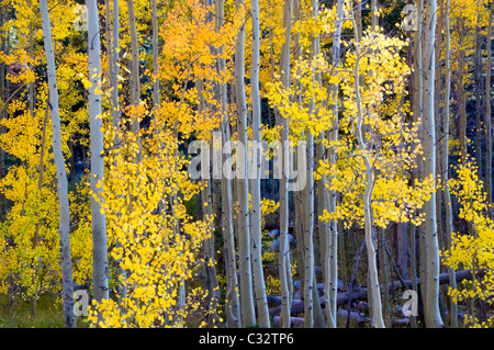 Aspens turn bright yellow and orange in the fall in Lake Tahoe, NV. - Stock Photo