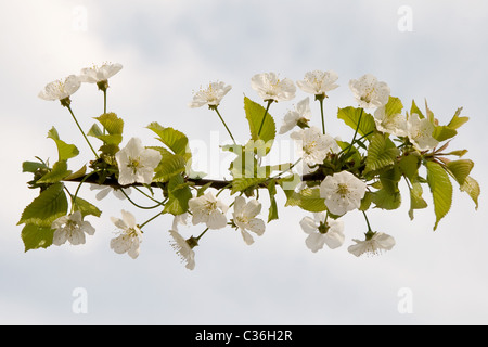 white flower blooming on blue sky background - Stock Photo