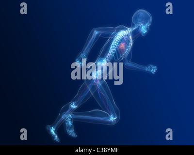 running skeleton - vascular - Stock Photo