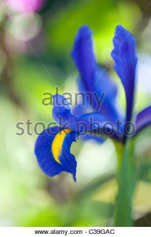 Iris x Hollandica 'Blue Magic'. Dutch Iris. Fleur de Lis ' Blue Magic' - Stock Photo