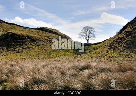 Hadrians wall at Sycamore  Gap between Housesteads and  Steel Rigg. Famous Sycamore tree  is known as Robin Hood's - Stock Photo