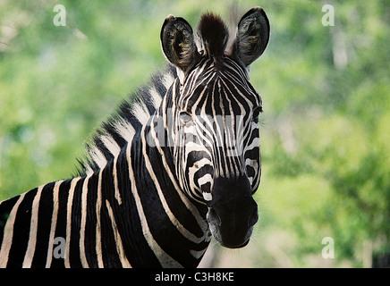 Zebra Burchell's zebra (Equus burchellii) Mala mala South Africa - Stock Photo