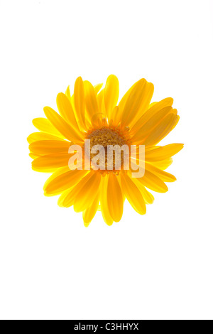 yellow gerber daisy on white - Stock Photo
