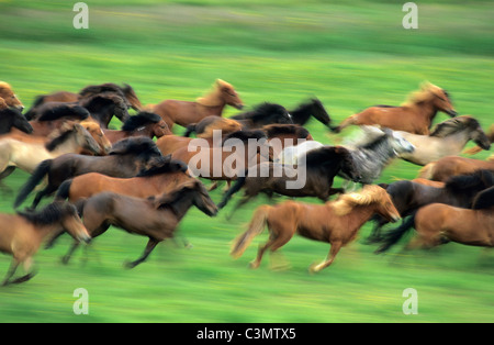 Iceland, Geysir, Icelandic horses running. - Stock Photo