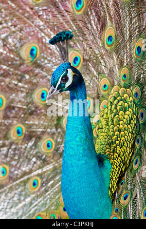 Germany, Bavaria, Close up of indian peacock - Stock Photo