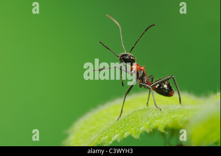 Broad-headed Bug (Hyalymenus tarsatus), Nymph on leaf, ant mimicry, Comal County, Hill Country, Central Texas, USA - Stock Photo
