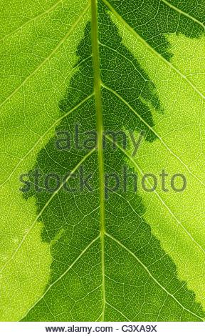 Liriodendron tulipifera variegata. Variegated Tulip tree leaf pattern - Stock Photo