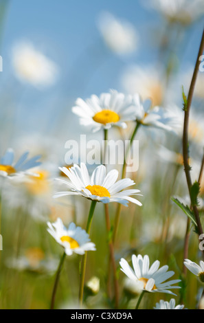 Close-up view of daisies in field in full bloom - Stock Photo
