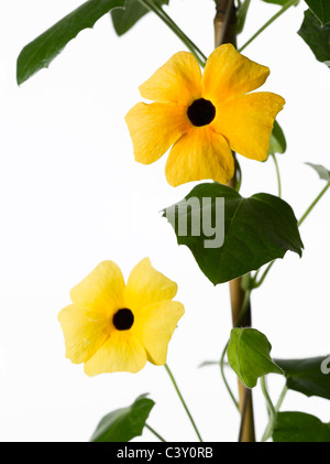 Black-Eyed Susan flowers growing up trellis - Stock Photo