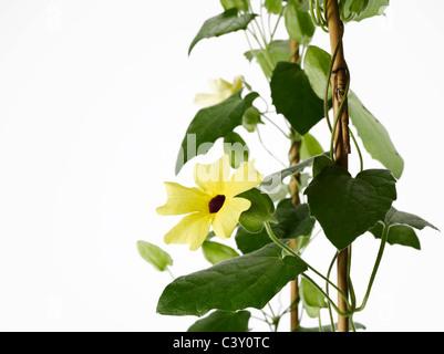 Flowering Thunbergia Black-Eyed Susan vine on trellis - Stock Photo