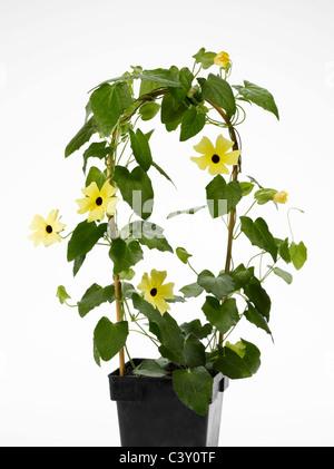 Flowering Thunbergia Black-Eyed Susan vine in flower-pot - Stock Photo