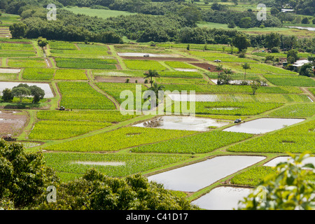 Flooded Taro Fields along the Hanalei River. A mix of flooded and growing taro fields. The taro fields glimmer in - Stock Photo