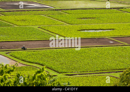 Taro Fields along the Hanalei River with tractor. The taro fields glimmer in the hot sun as a tractor passes on - Stock Photo