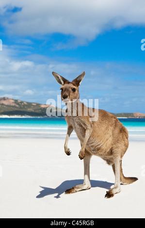 Kangaroo on the beach at Lucky Bay. Cape Le Grand National Park, Esperance, Western Australia, Australia - Stock Photo