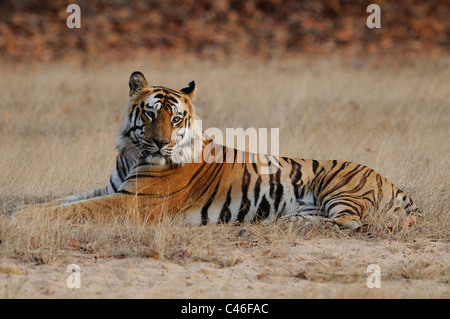 Dominant residential adult male Bengal tiger sitting in an open grassland in early morning light in Bandhavgarh, - Stock Photo