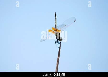 Botswana, Okavango. A Dragonfly perches acrobatically on the end of a reed. - Stock Photo