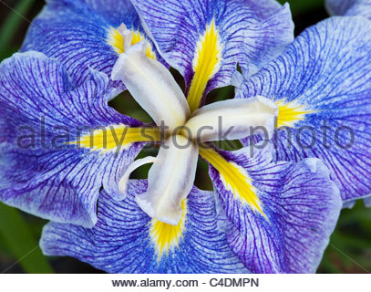 Iris 'ensata koshui no asa' . Japanese Water Iris. Japanese Flag iris. Russian Iris - Stock Photo