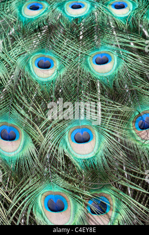 Close-up detail of peacock feathers on a bird in full display - Stock Photo