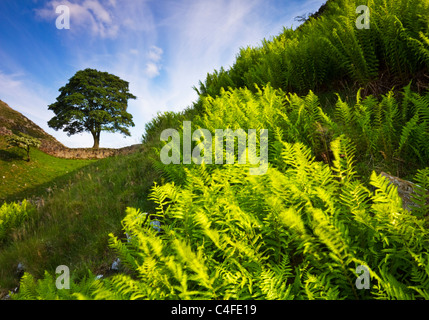 'Sycamore Gap' on Hadrian's Wall in the Northumberland National Park, England - Stock Photo