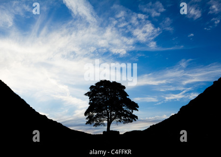 The sycamore of Sycamore Gap silhouetted against a summer evening's sky, Northumberland, England - Stock Photo