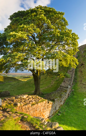 Sycamore Gap inbetween Steel Rigg and Housesteads on Hadrian's Wall, Northumberland National Park, England - Stock Photo