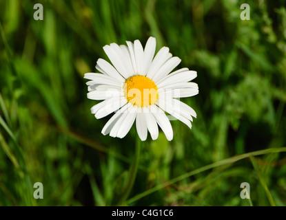 WILD DAISY - Stock Photo