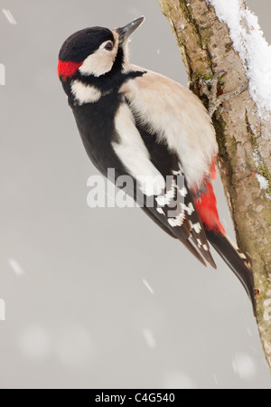 Great Spotted Woodpecker - male at branch / Dendrocopos major - Stock Photo