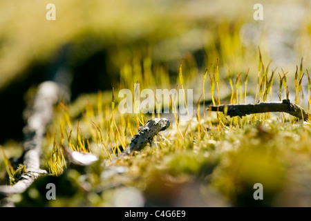 Wall Screw Moss, Tortula muralis, growing on top of a wall. - Stockfoto