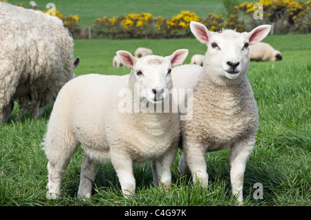 Two healthy inquisitive twin sheep lambs and a ewe in a field in spring. Isle of Anglesey, North Wales, UK, Britain - Stock Photo
