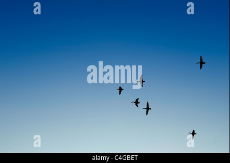 Wild ducks fly in formation against blue sky - Stock Photo