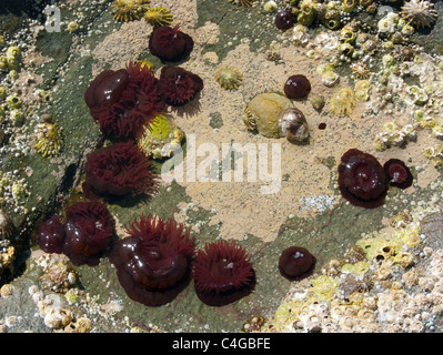 A rock pool with dark red anemones, limpets, and barnacles, in clear water - Stock Photo