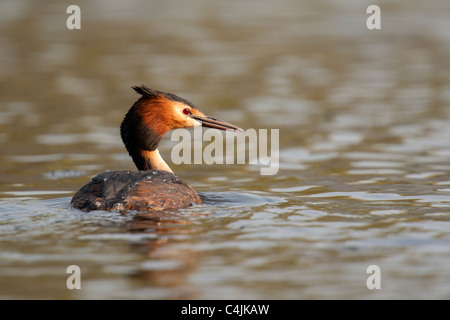 Great Crested Grebe courtship dance - Stock Photo