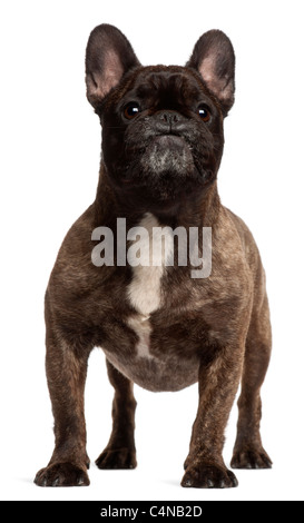 French Bulldog, 5 years old, standing in front of white background - Stock Photo