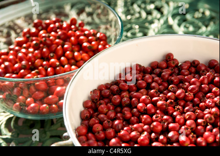 Rosehip berries in colander - Stock Photo