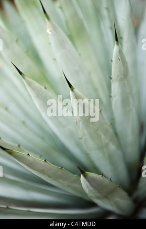 Agave plant, close-up - Stock Photo